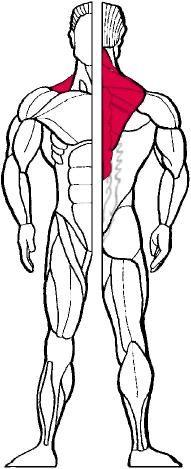 схема мышц спины для упражнения